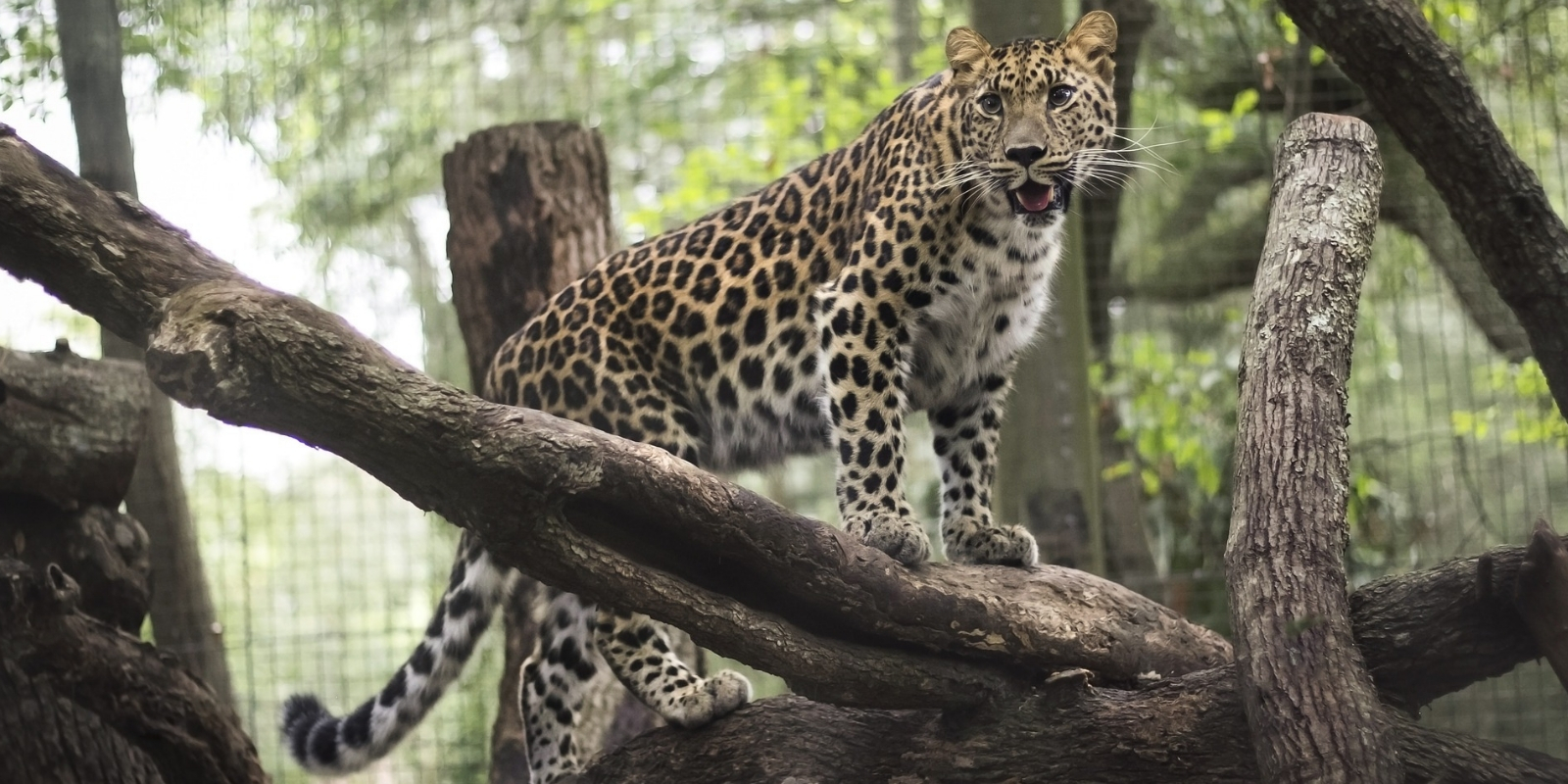 Leopard at Jacksonville Zoo